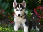 Outstanding blue eyes  male and female siberian husky puppies