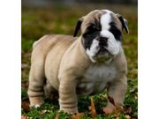Quality english bull dog puppies for sale.